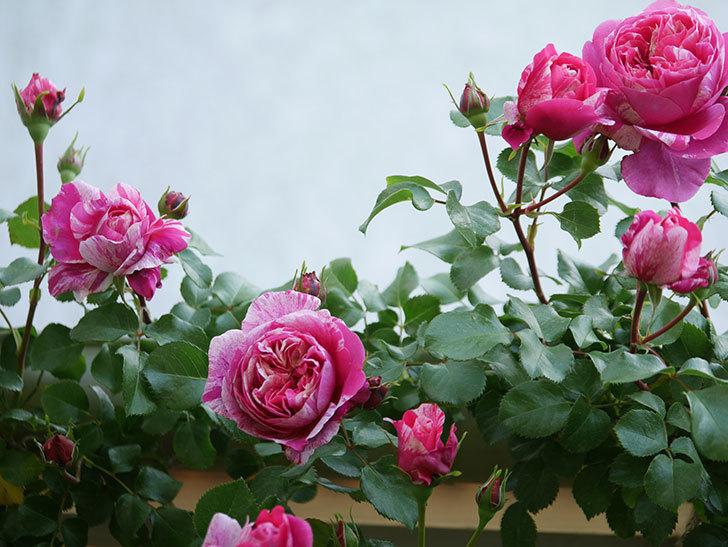 フランボワーズ バニーユ(Framboise Vanille)の花がたくさん咲いた。2021年-002.jpg