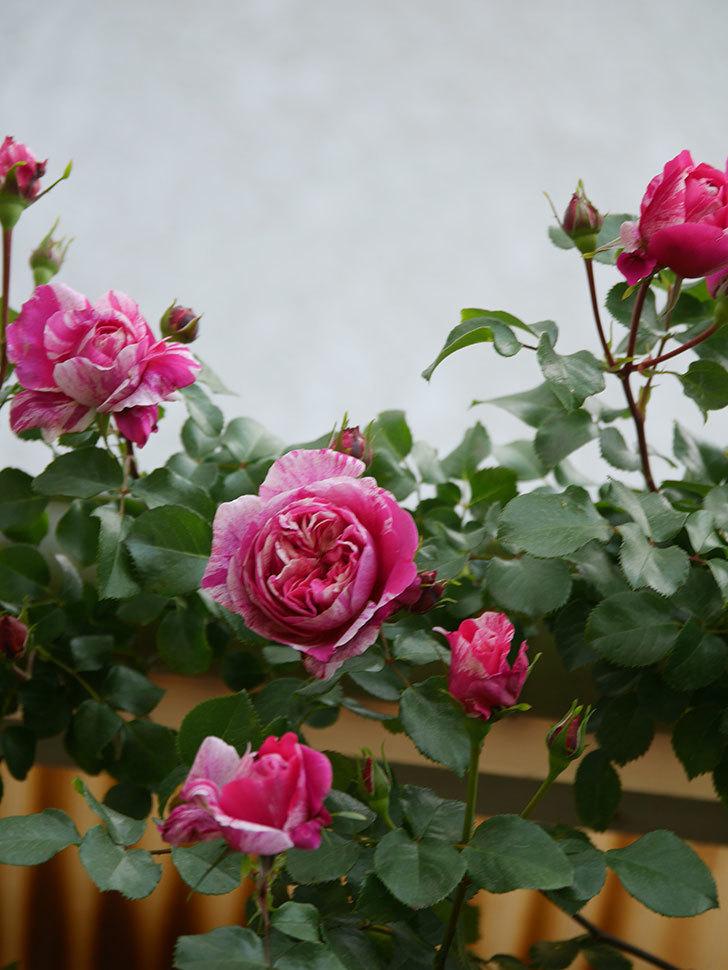 フランボワーズ バニーユ(Framboise Vanille)の花がたくさん咲いた。2021年-003.jpg