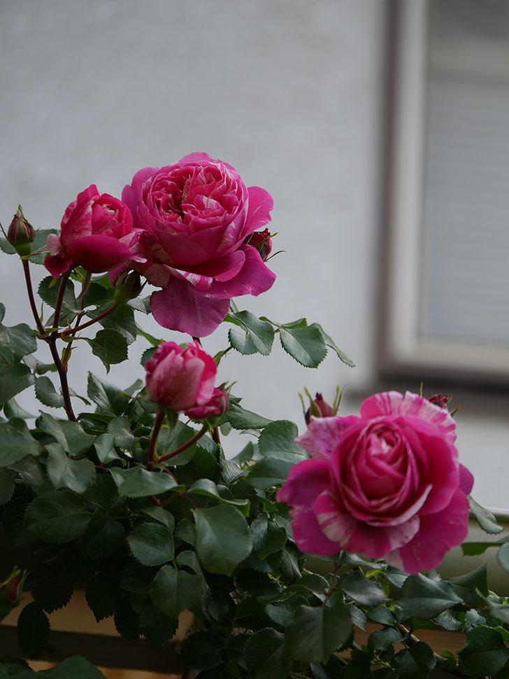 フランボワーズ バニーユ(Framboise Vanille)の花がたくさん咲いた。2021年-004.jpg