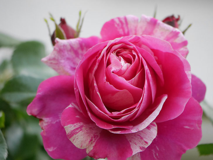 フランボワーズ バニーユ(Framboise Vanille)の花がたくさん咲いた。2021年-005.jpg