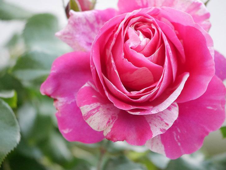 フランボワーズ バニーユ(Framboise Vanille)の花がたくさん咲いた。2021年-006.jpg