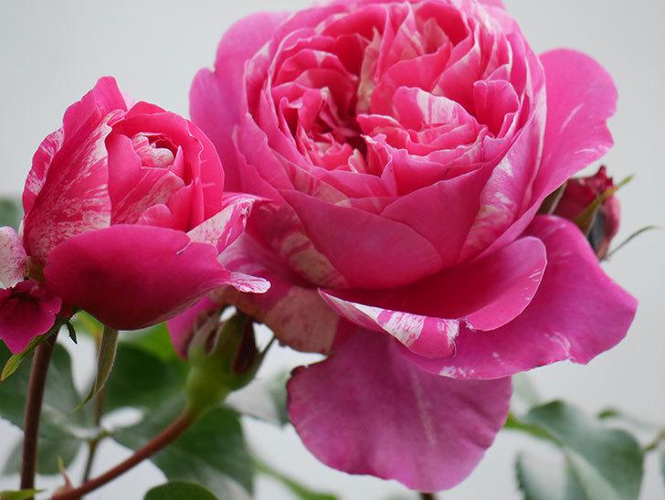 フランボワーズ バニーユ(Framboise Vanille)の花がたくさん咲いた。2021年-007.jpg