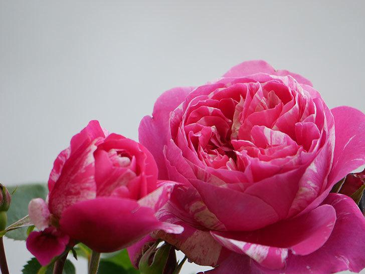 フランボワーズ バニーユ(Framboise Vanille)の花がたくさん咲いた。2021年-008.jpg