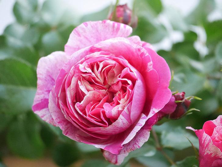 フランボワーズ バニーユ(Framboise Vanille)の花がたくさん咲いた。2021年-009.jpg