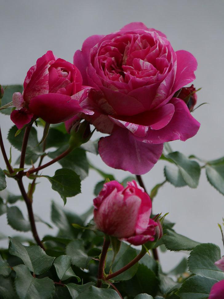 フランボワーズ バニーユ(Framboise Vanille)の花がたくさん咲いた。2021年-012.jpg