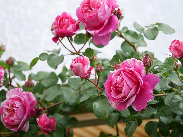 フランボワーズ バニーユ(Framboise Vanille)の花がたくさん咲いた。2021年-013.jpg