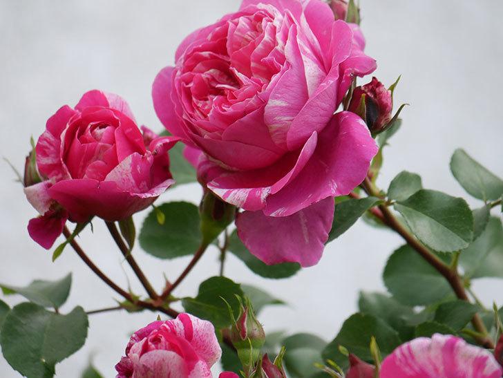 フランボワーズ バニーユ(Framboise Vanille)の花がたくさん咲いた。2021年-014.jpg