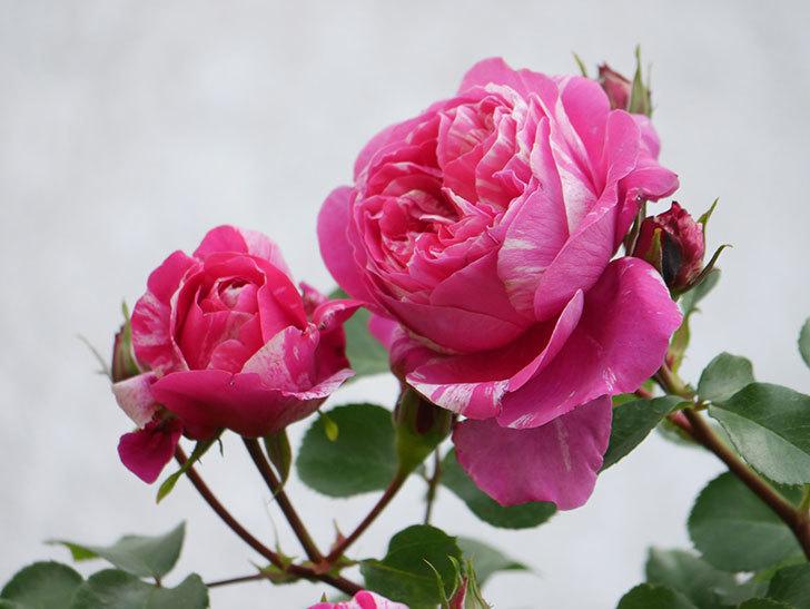 フランボワーズ バニーユ(Framboise Vanille)の花がたくさん咲いた。2021年-015.jpg