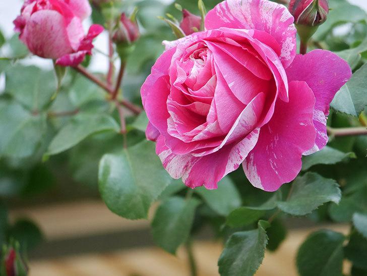 フランボワーズ バニーユ(Framboise Vanille)の花がたくさん咲いた。2021年-016.jpg