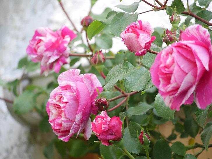 フランボワーズ バニーユ(Framboise Vanille)の花がたくさん咲いた。2021年-017.jpg