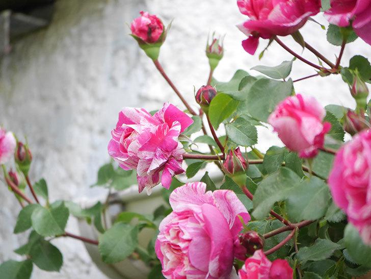 フランボワーズ バニーユ(Framboise Vanille)の花がたくさん咲いた。2021年-018.jpg