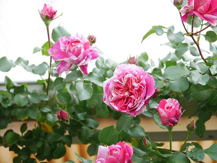 フランボワーズ バニーユ(Framboise Vanille)の花がたくさん咲いた。2021年-019.jpg