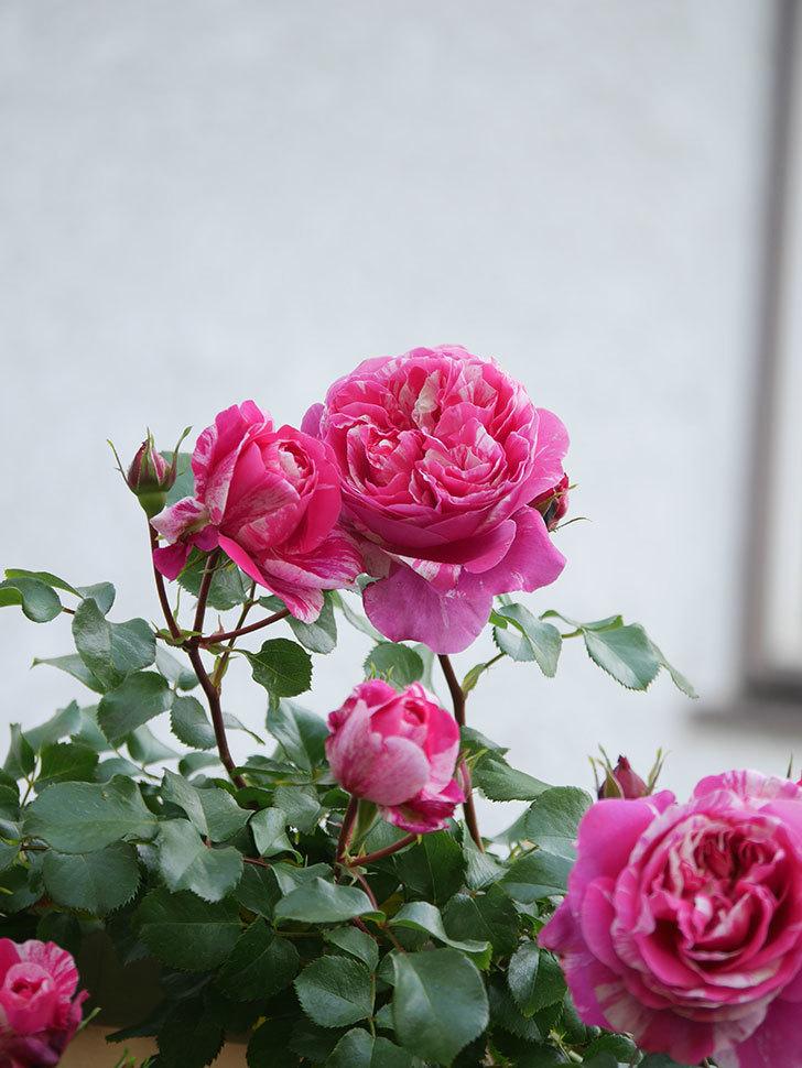 フランボワーズ バニーユ(Framboise Vanille)の花がたくさん咲いた。2021年-020.jpg