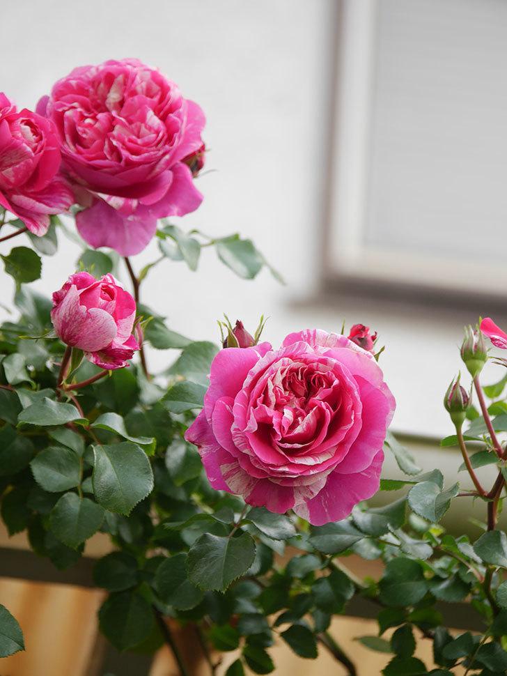 フランボワーズ バニーユ(Framboise Vanille)の花がたくさん咲いた。2021年-021.jpg