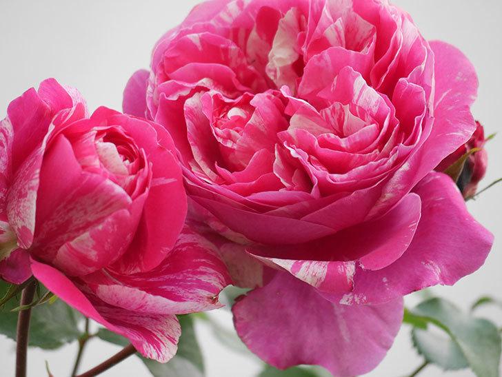 フランボワーズ バニーユ(Framboise Vanille)の花がたくさん咲いた。2021年-022.jpg