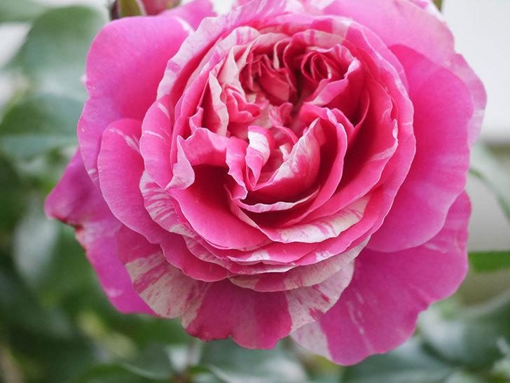 フランボワーズ バニーユ(Framboise Vanille)の花がたくさん咲いた。2021年-023.jpg
