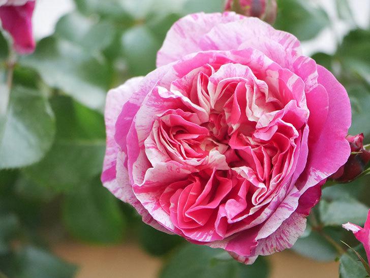 フランボワーズ バニーユ(Framboise Vanille)の花がたくさん咲いた。2021年-024.jpg