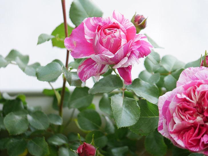 フランボワーズ バニーユ(Framboise Vanille)の花がたくさん咲いた。2021年-026.jpg