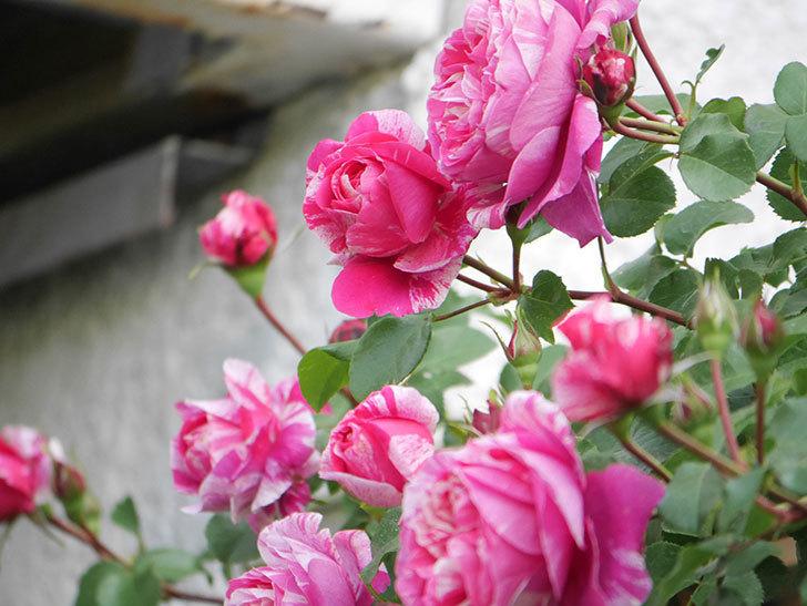 フランボワーズ バニーユ(Framboise Vanille)の花がたくさん咲いた。2021年-027.jpg