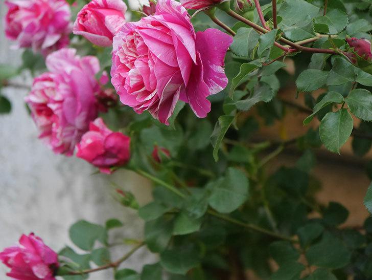 フランボワーズ バニーユ(Framboise Vanille)の花がたくさん咲いた。2021年-028.jpg