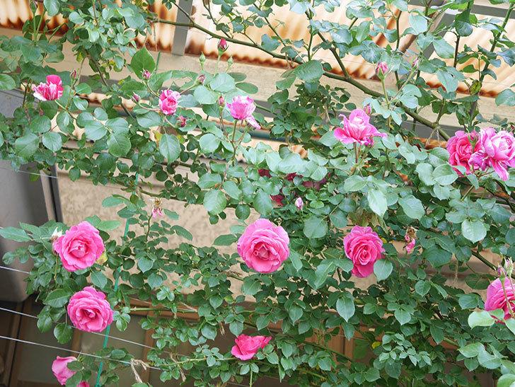 フランボワーズ バニーユ(Framboise Vanille)の花がたくさん咲いた。2021年-029.jpg