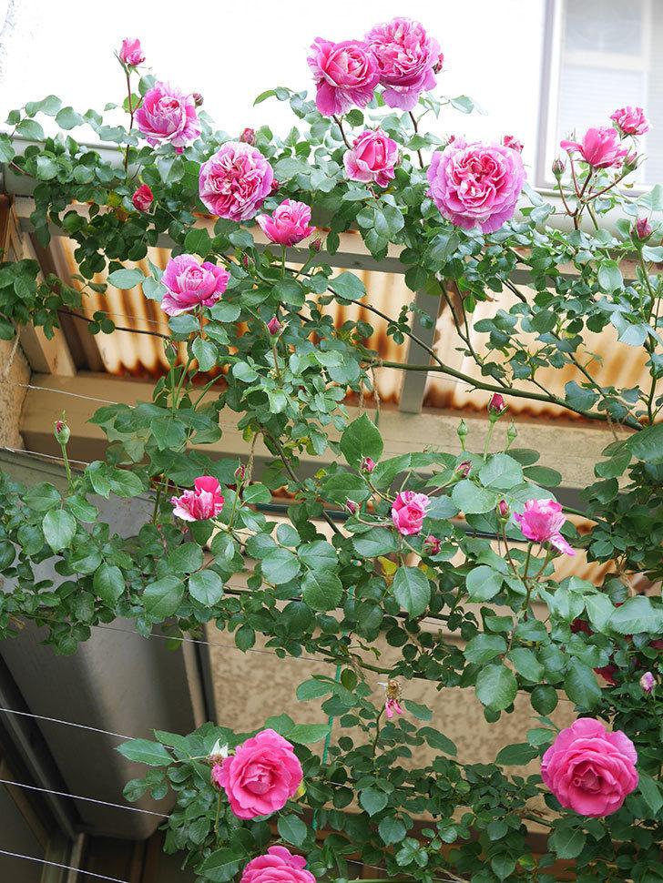 フランボワーズ バニーユ(Framboise Vanille)の花がたくさん咲いた。2021年-030.jpg
