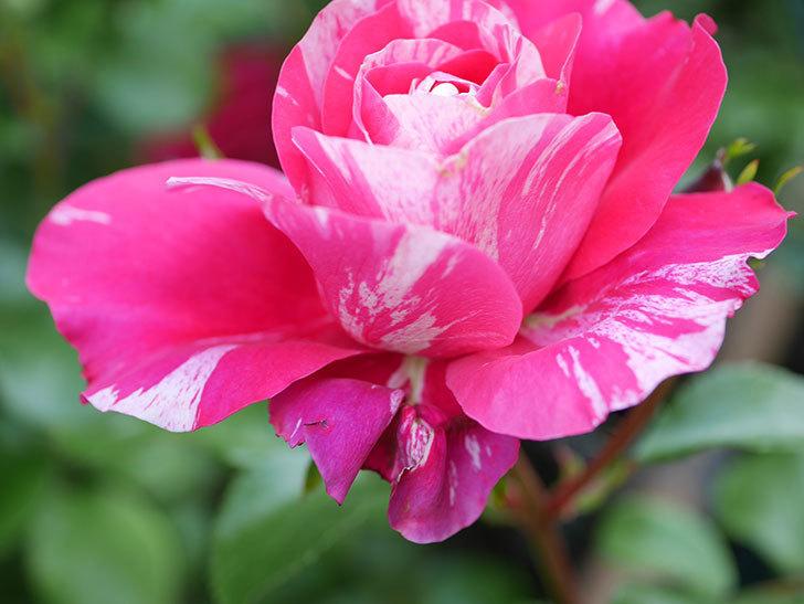 フランボワーズ バニーユ(Framboise Vanille)の花がたくさん咲いた。2021年-031.jpg