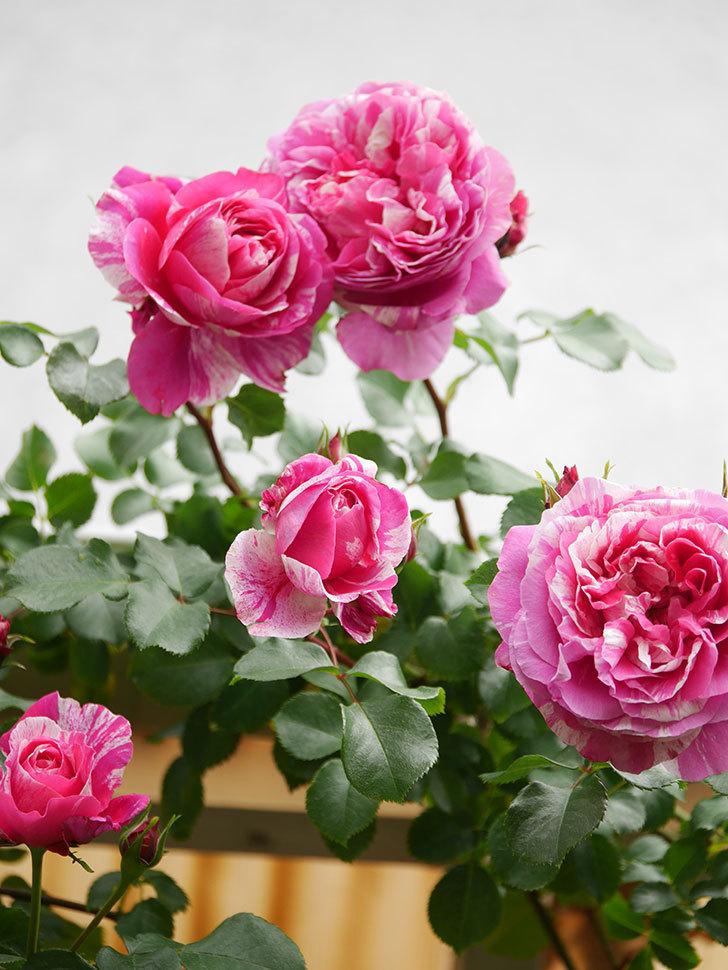 フランボワーズ バニーユ(Framboise Vanille)の花がたくさん咲いた。2021年-033.jpg
