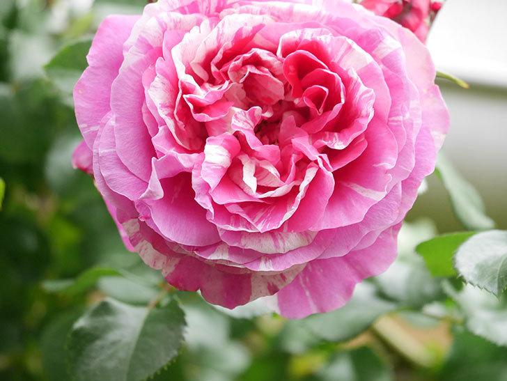 フランボワーズ バニーユ(Framboise Vanille)の花がたくさん咲いた。2021年-035.jpg