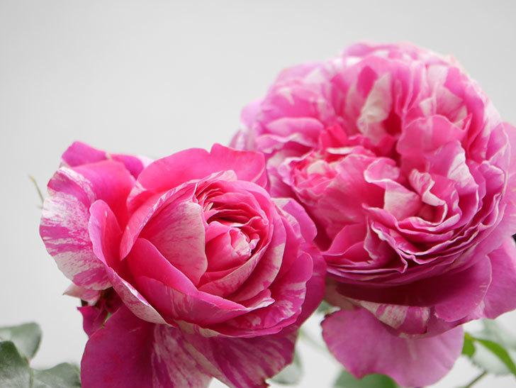 フランボワーズ バニーユ(Framboise Vanille)の花がたくさん咲いた。2021年-036.jpg