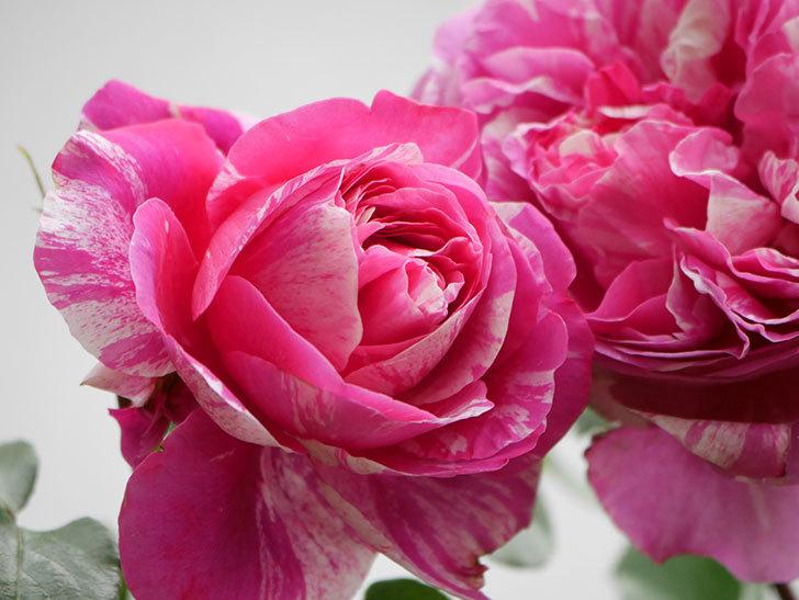 フランボワーズ バニーユ(Framboise Vanille)の花がたくさん咲いた。2021年-037.jpg