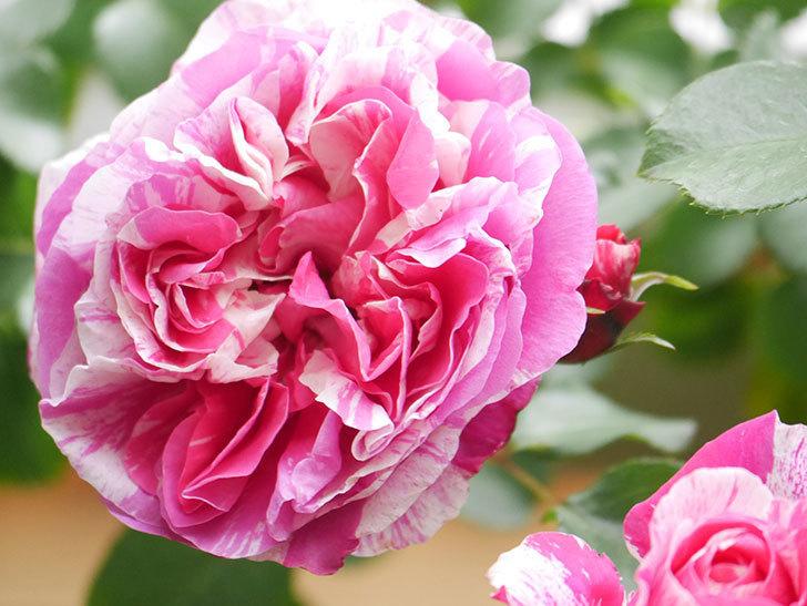 フランボワーズ バニーユ(Framboise Vanille)の花がたくさん咲いた。2021年-039.jpg