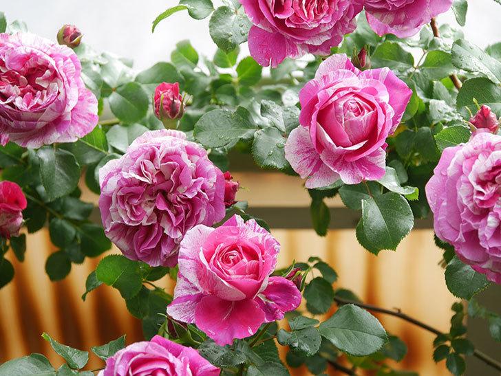 フランボワーズ バニーユ(Framboise Vanille)の花がたくさん咲いた。2021年-041.jpg