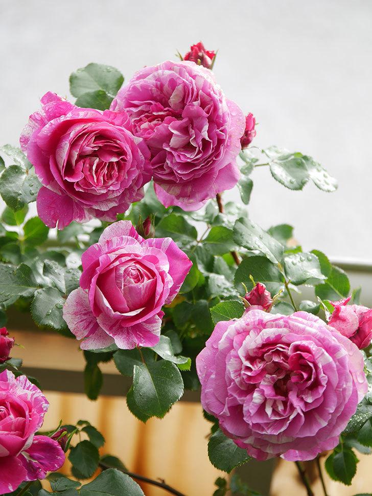 フランボワーズ バニーユ(Framboise Vanille)の花がたくさん咲いた。2021年-042.jpg