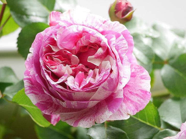 フランボワーズ バニーユ(Framboise Vanille)の花がたくさん咲いた。2021年-043.jpg