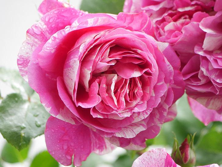 フランボワーズ バニーユ(Framboise Vanille)の花がたくさん咲いた。2021年-044.jpg
