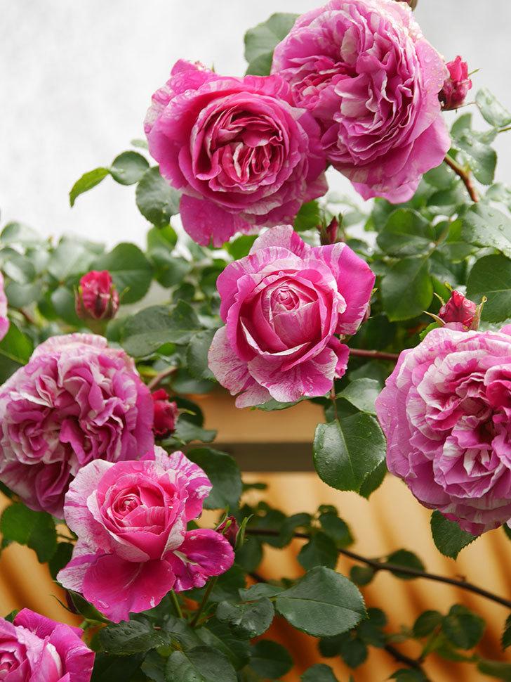 フランボワーズ バニーユ(Framboise Vanille)の花がたくさん咲いた。2021年-046.jpg