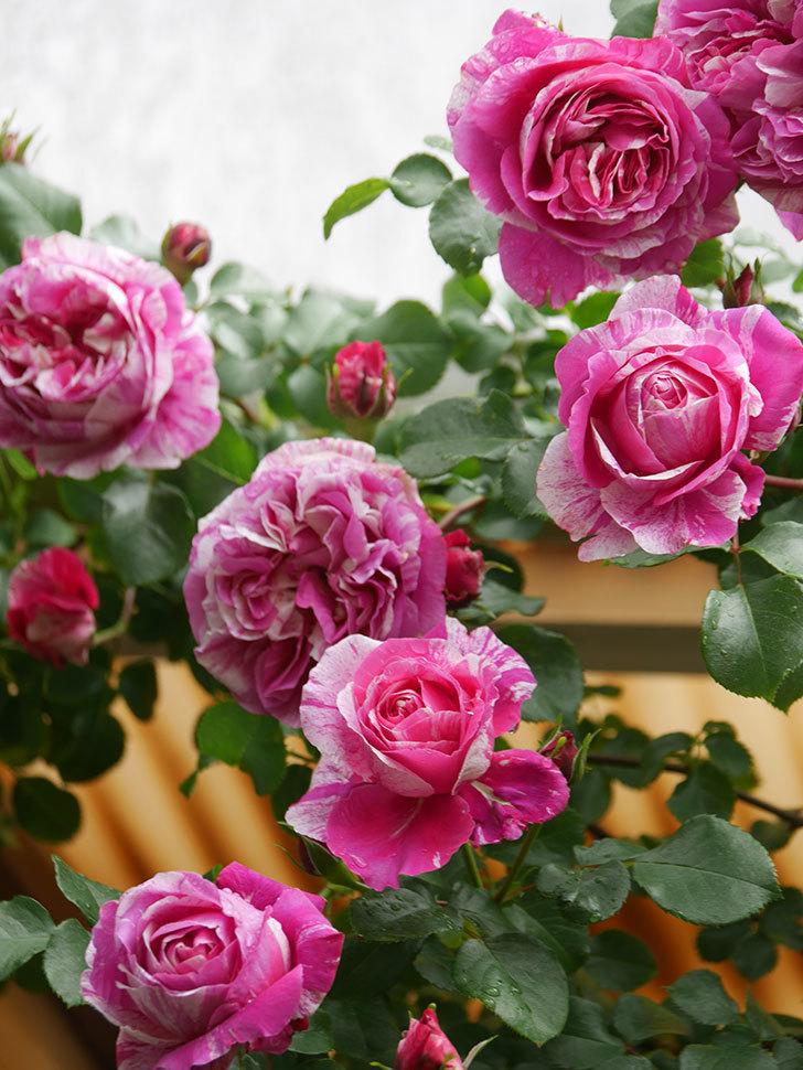 フランボワーズ バニーユ(Framboise Vanille)の花がたくさん咲いた。2021年-047.jpg