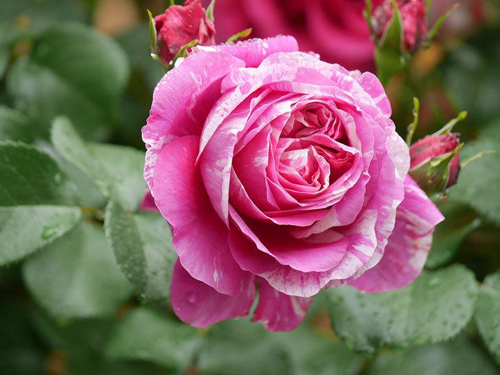 フランボワーズ バニーユ(Framboise Vanille)の花がたくさん咲いた。2021年-048.jpg