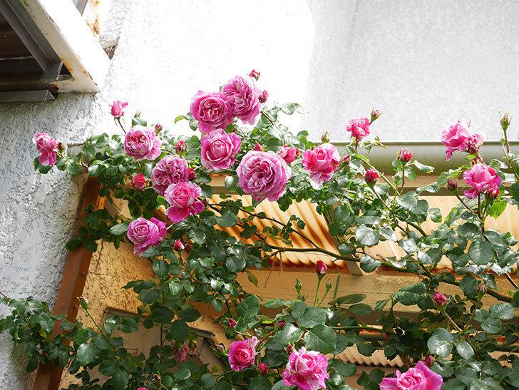 フランボワーズ バニーユ(Framboise Vanille)の花がたくさん咲いた。2021年-053.jpg