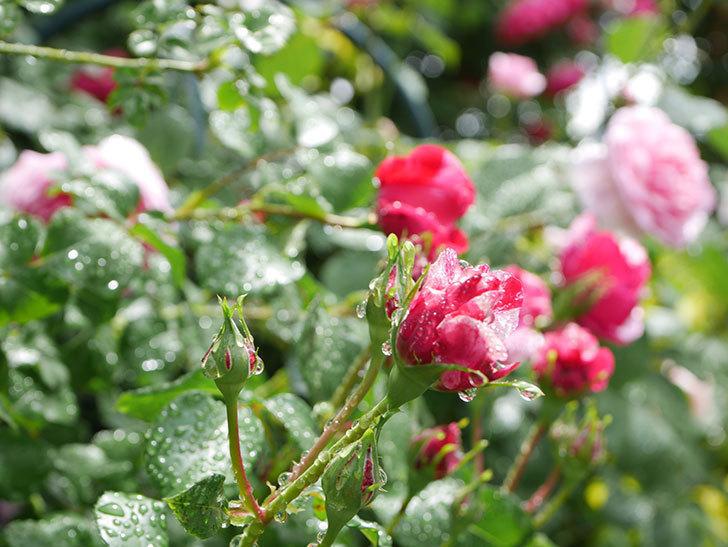 フランボワーズ バニーユ(Framboise Vanille)の花がたくさん咲いた。2021年-057.jpg