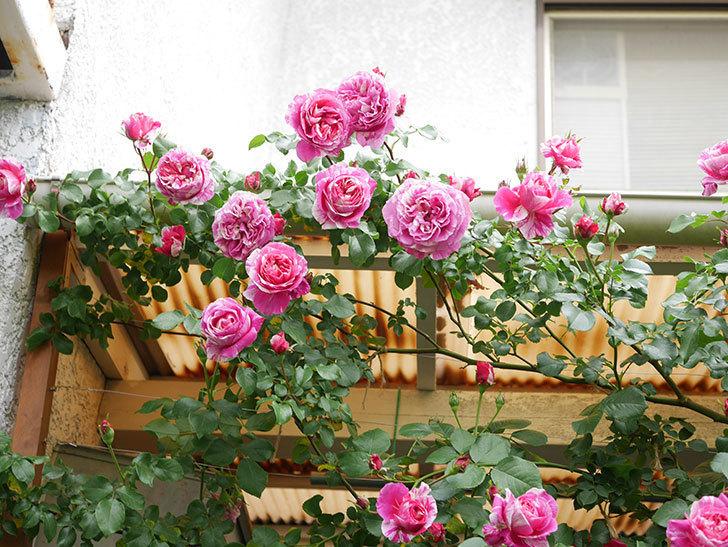 フランボワーズ バニーユ(Framboise Vanille)の花がたくさん咲いた。2021年-058.jpg