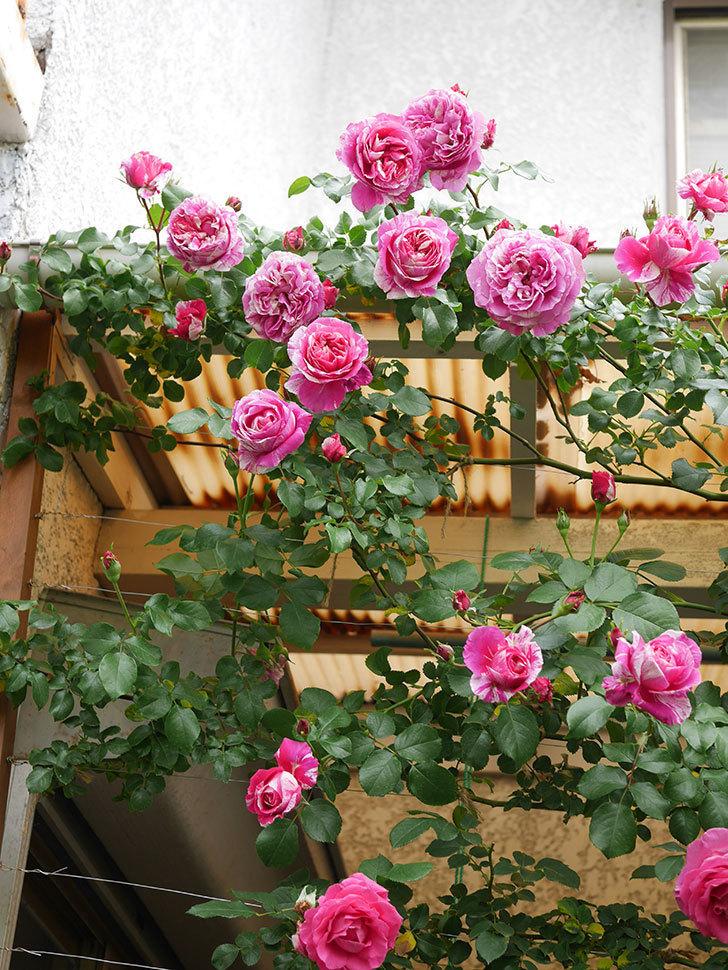 フランボワーズ バニーユ(Framboise Vanille)の花がたくさん咲いた。2021年-059.jpg