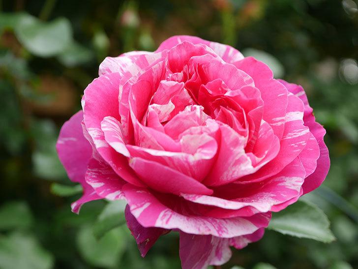 フランボワーズ バニーユ(Framboise Vanille)の花がたくさん咲いた。2021年-060.jpg