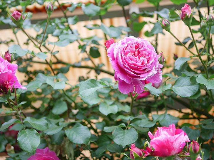 フランボワーズ バニーユ(Framboise Vanille)の花がたくさん咲いた。2021年-061.jpg