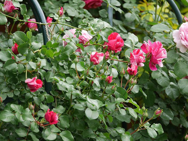 フランボワーズ バニーユ(Framboise Vanille)の花がたくさん咲いた。2021年-063.jpg