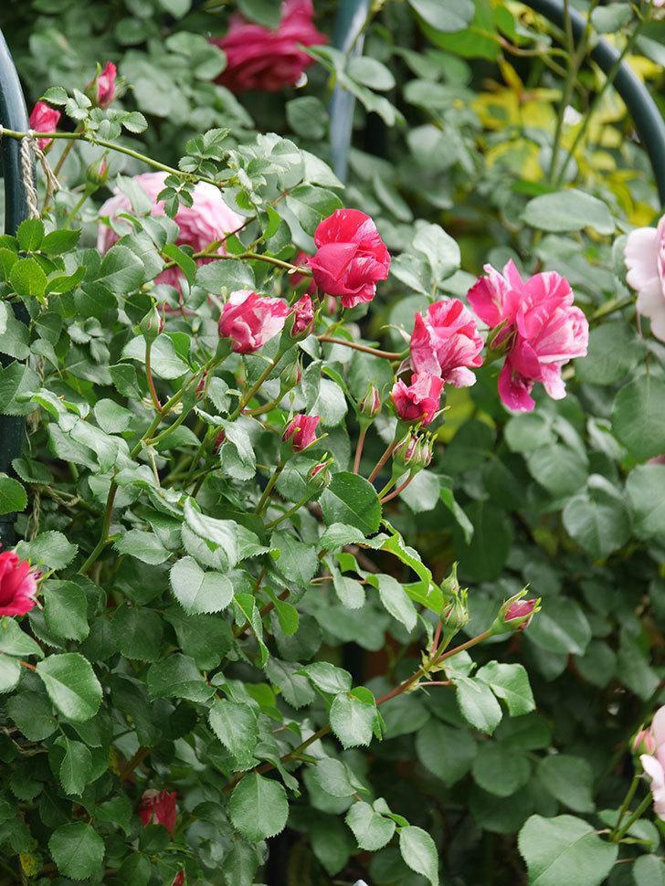 フランボワーズ バニーユ(Framboise Vanille)の花がたくさん咲いた。2021年-064.jpg