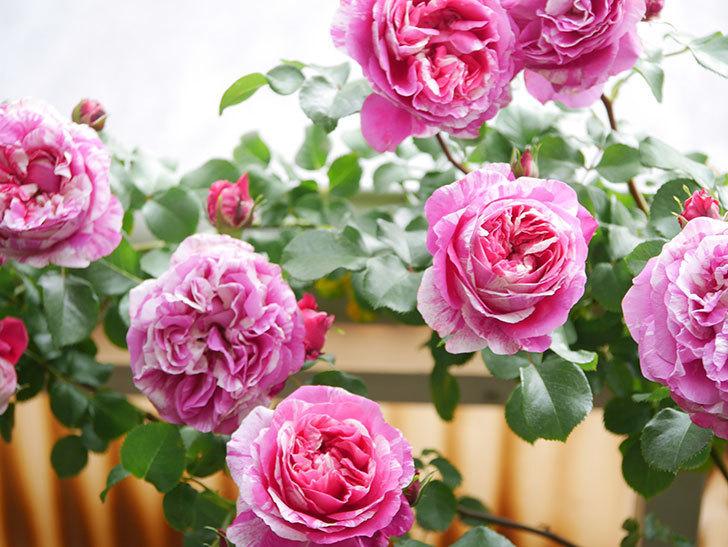 フランボワーズ バニーユ(Framboise Vanille)の花がたくさん咲いた。2021年-065.jpg