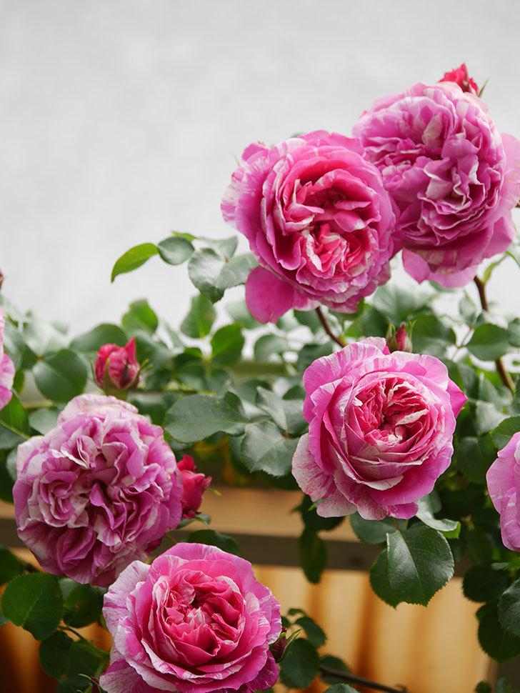 フランボワーズ バニーユ(Framboise Vanille)の花がたくさん咲いた。2021年-066.jpg