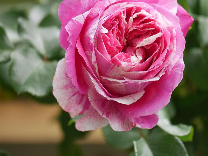 フランボワーズ バニーユ(Framboise Vanille)の花がたくさん咲いた。2021年-068.jpg